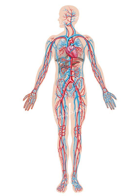 Anatomia-Circolatorio
