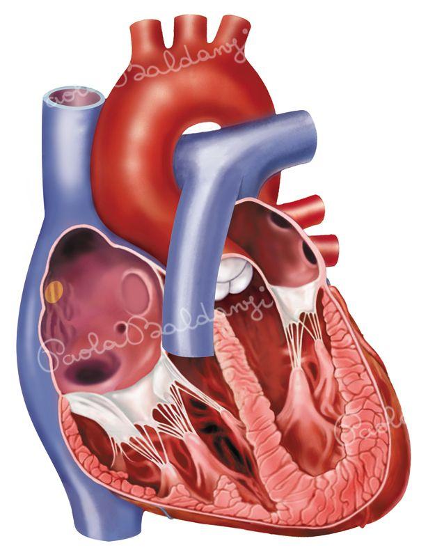 Anatomia-Cuore