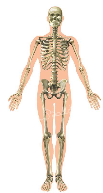 Anatomia-Locomotore