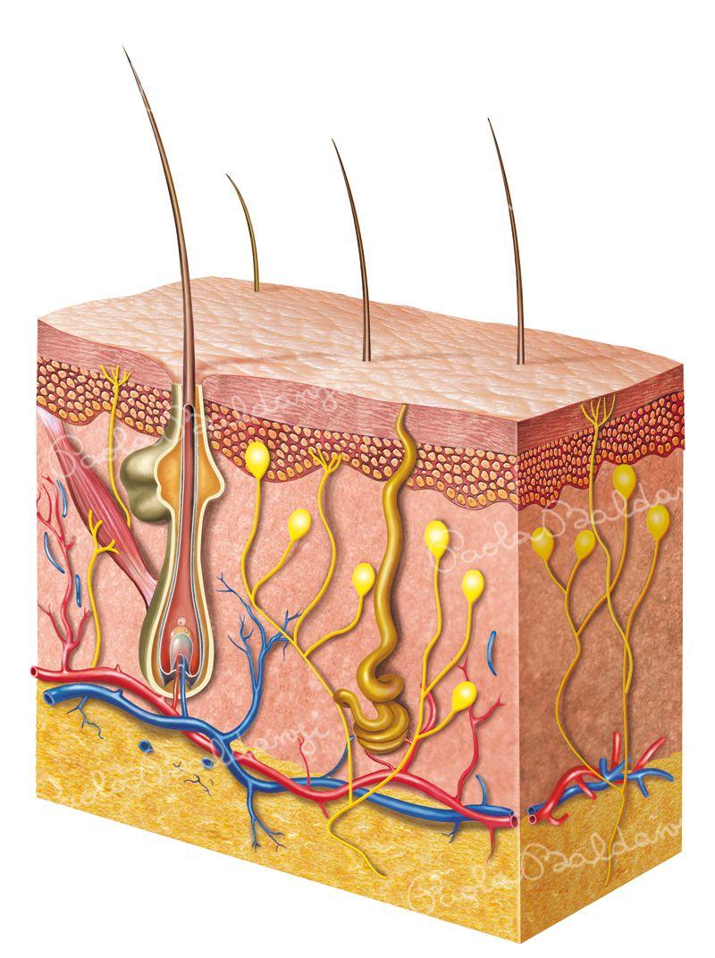 Anatomia-Pelle