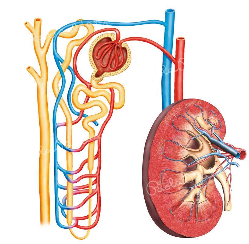 Anatomia-rene
