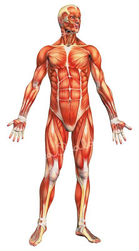 Anatomia-sist-muscolare