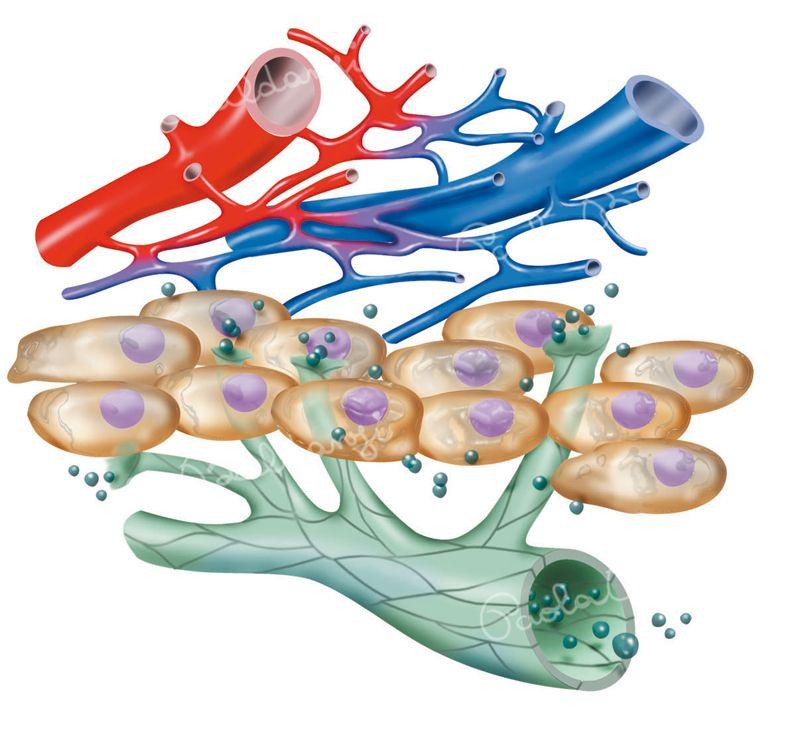 Anatomia-vasi-sanguigni-e-linfa